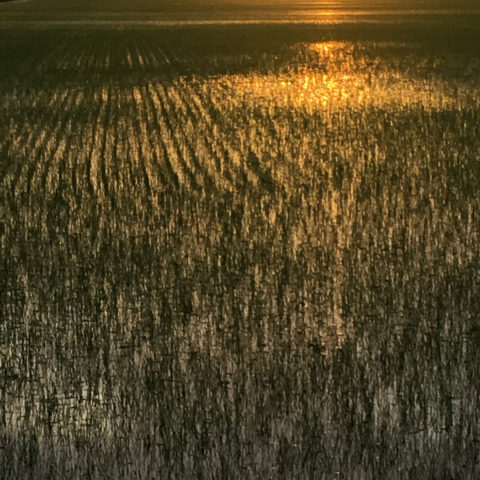 flooded rice field at sunset